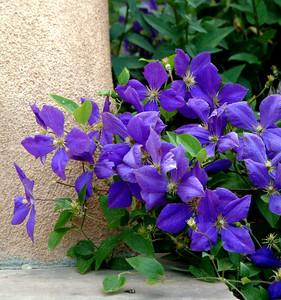 Blue Clematis & Adobe, Santa Fe