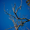 Waxing moon behind tree, Auckland Domain Park, Auckland, New Zealand