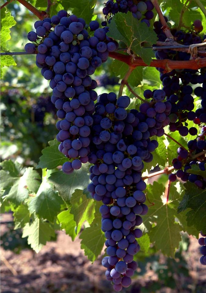 Sonoma County Grapevines Sonoma, California