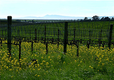 Mustard in Springtime Sonoma County, California