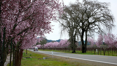 Spring Blossoms Near Calistoga, California