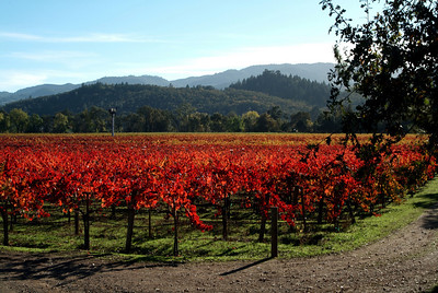 Crimson Grapevines Napa Valley, California