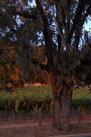 Oak Tree at Sunset Knight's Valley Near Calistoga Sonoma County, California