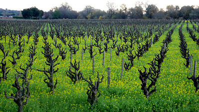 Mustard Flowers in the Vines Healdsburg, California