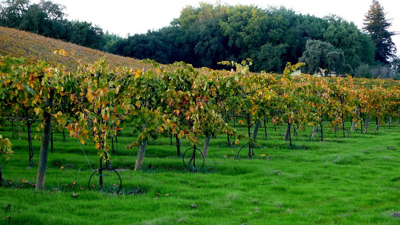 Autumn in the Vineyards Healdsburg, California
