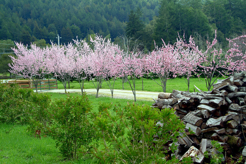Spring Blossoms - San Mateo County, California  On a backroads drive just south of San Francisco I came upon this idyllic scene. I love the stacked firewood and the beautiful pink blossoms lining the drive.