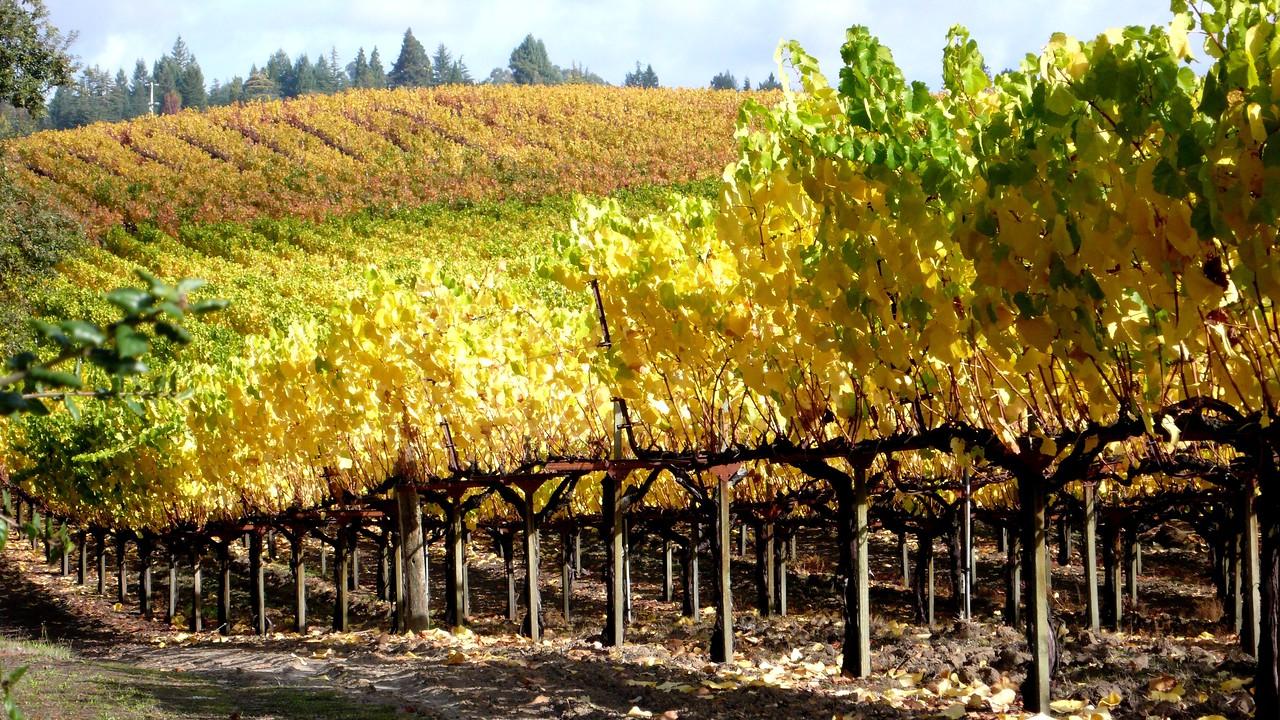 Vineyards in Autumn Healdsburg, California