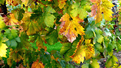 Autumn Grapevines Healdsburg, California