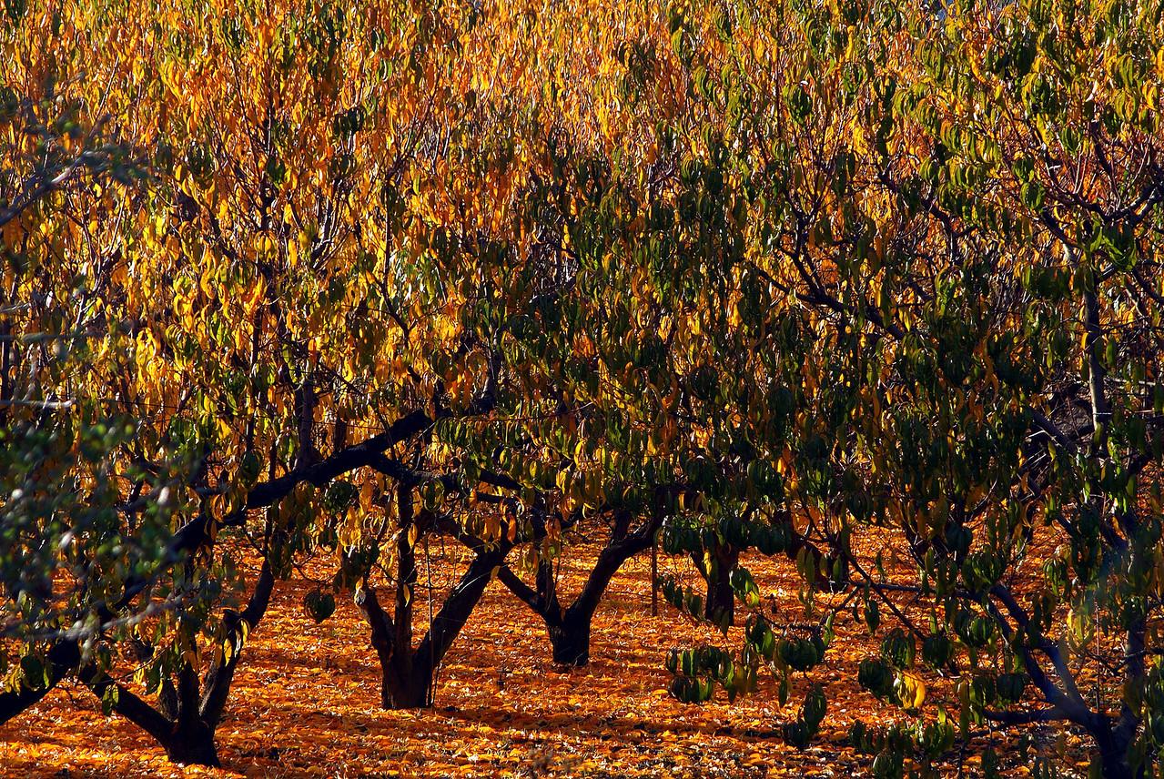 Orchard on Silverado Trail Napa Valley, California