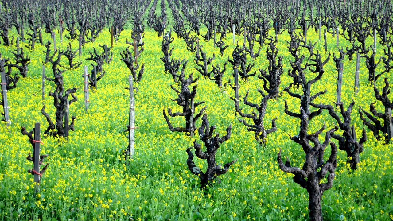 Mustard Flowers & Grapevines Healdsburg, California