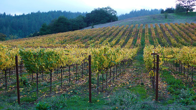 Autumn Vineyards Near Healdsburg, California Alexander Valley