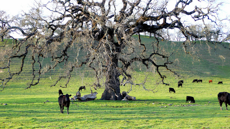 Cows Under the Oak Trees Calistoga, California