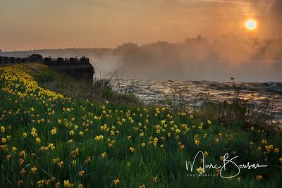 Niagara Falls Daffodils