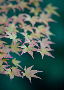 Japanese maple (Acer palmatum). Taken at the Portland Japanese Garden, Oregon, USA.