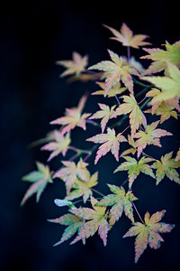 """Fleeting""  Fall just doesn't last long enough, especially when you only have a few short hours at the Portland Japanese Garden! These are Japanese maple (Acer palmatum). The background is the trunk of a large pine, which I thought set off the colorful leaves nicely."