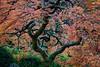 Japanese maple (Acer palmatum). Taken at the Portland Japanese Garden, Oregon, USA.
