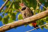 A northern flicker (Colaptes auratus). Taken in Malheur National Wildlife Refuge, Oregon, USA.