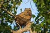A great horned owl (Bubo virginianus) fledgling. Taken in Malheur National Wildlife Refuge, Oregon, USA.