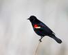 A red-winged blackbird (Agelaius phoenicius). Taken in Malheur National Wildlife Refuge, Oregon, USA.