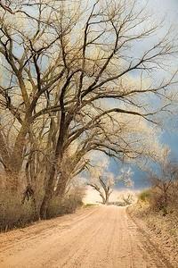 Roadside Cottonwoods II