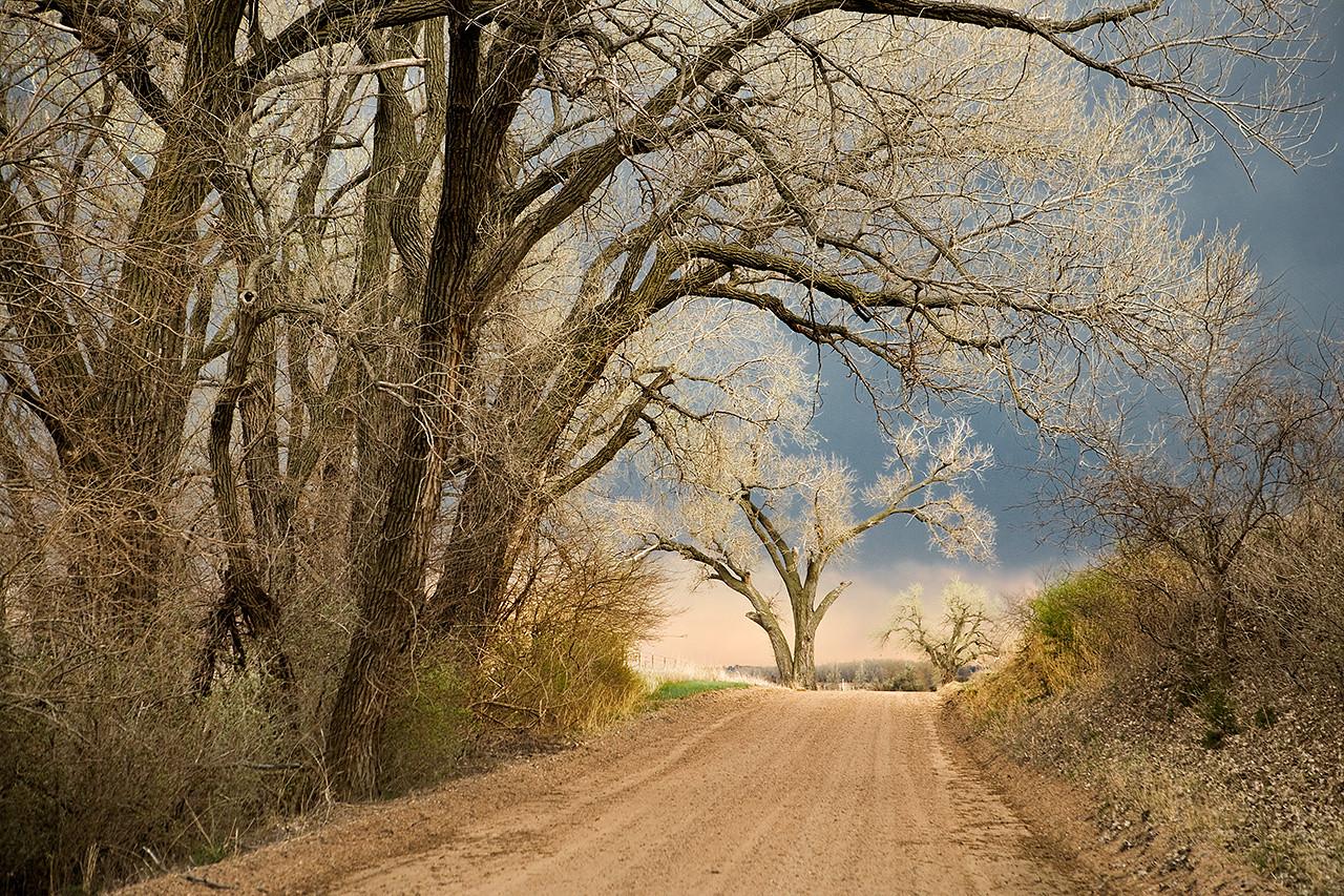 Roadside Cottonwoods