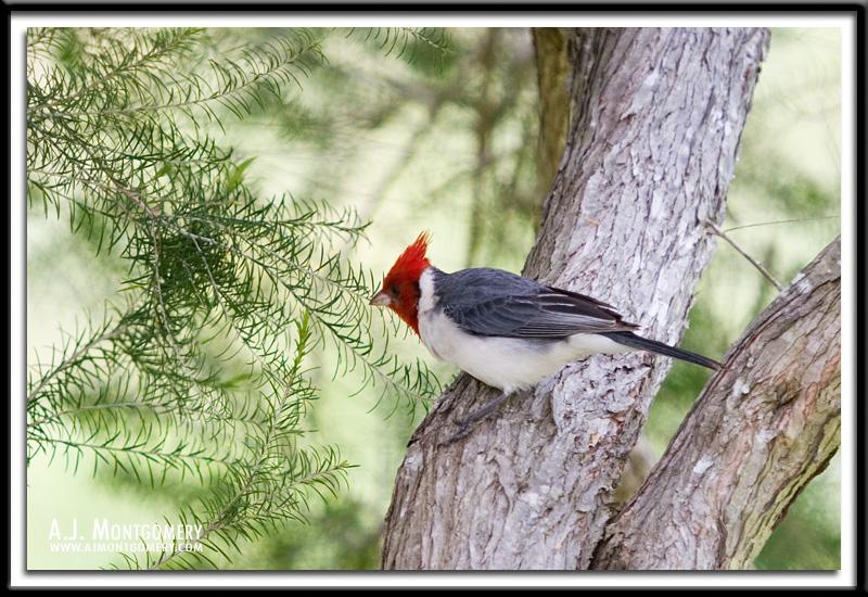 Brazilian Red-capped Cardinal