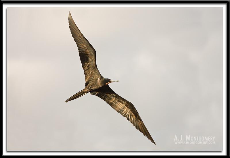Magnificent Frigate Bird