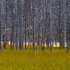Burnt Trees - Yellowstone National Park