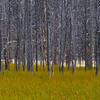 Burnt Trees - Yellowstone National Park