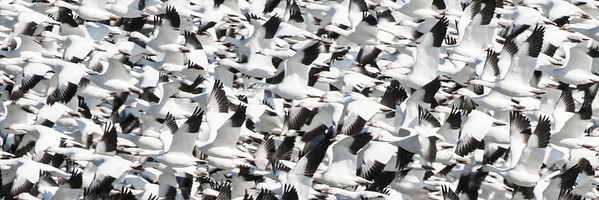 Lift off of Snow Geese, Middle Creek Wildlife Management Area, PA