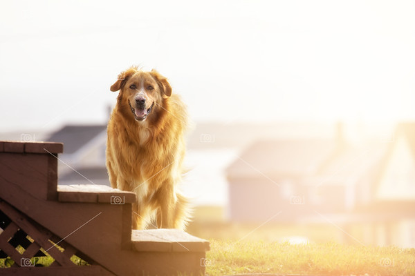 Young adult golden retriever