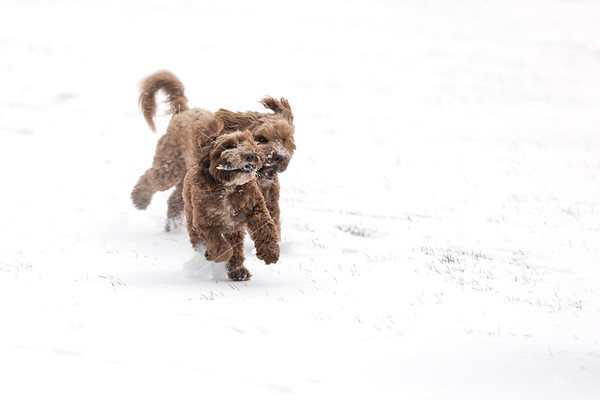 Cockerpoos playing in the snow