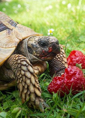 Tortoise eating strawberries