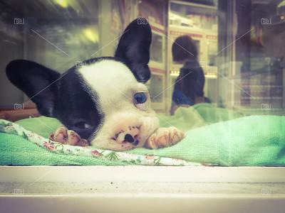 French bulldog puppy in pet shop window