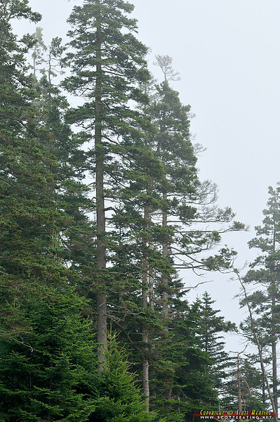 Trees at Little Hunters Beach - Acadia National Park, Maine