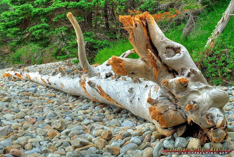 Dead tree -  Acadia National Park, Maine