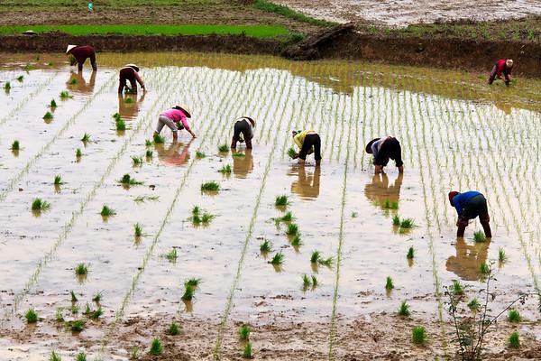 Replanting Rice