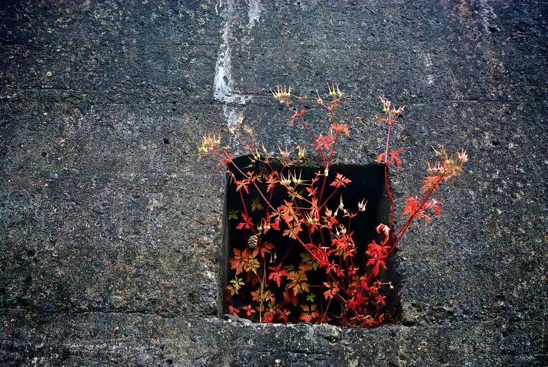 concrete wall with red shrub, abandoned gold mine, north island, New Zealand