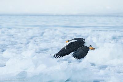 Sea Eagles  In Rausu, Hokkaido