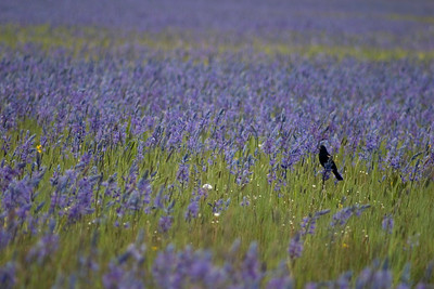 A red winged blackbird among spring camas blooms.