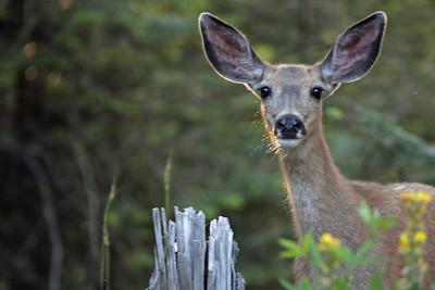 Central Idaho mule deer.
