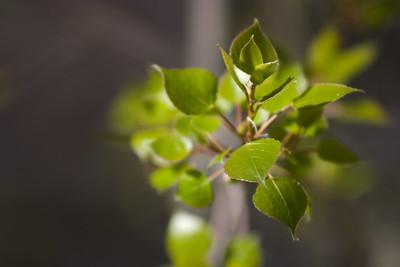Aspen leaves welcome spring near Salmon, Idaho.