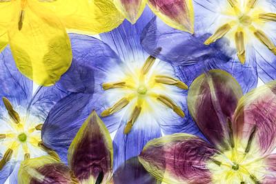 8a Tulipa