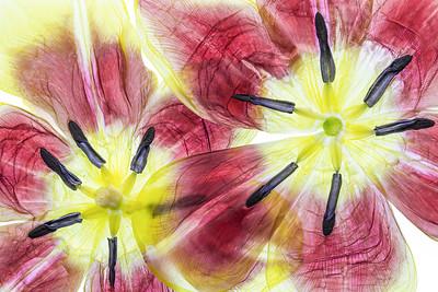 5a Tulipa