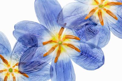 7a Tulipa
