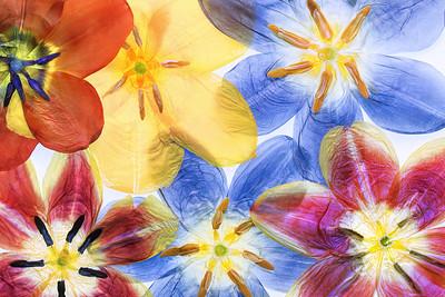 6a Tulipa