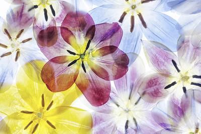 9a Tulipa