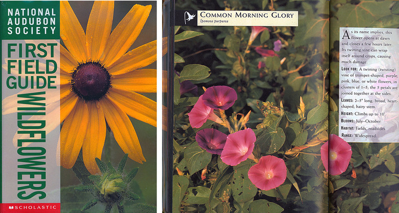 National Audubon Society, First Field Guide -Wildflowers - 1998, Common Morning Glory