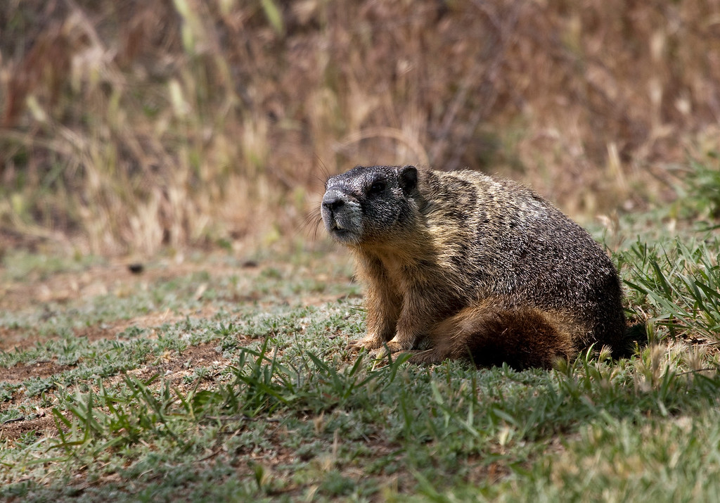 Groundhog - taken at Palouse Falls, Washington.<br /> <br /> The groundhog (Marmota monax), also known as a woodchuck or whistle-pig, is a rodent of the family Sciuridae, belonging to the group of large ground squirrels known as marmots. Other marmots, such as the yellow-bellied and hoary marmots, live in rocky and mountainous areas, but the woodchuck is a lowland creature. It is widely distributed in North America.