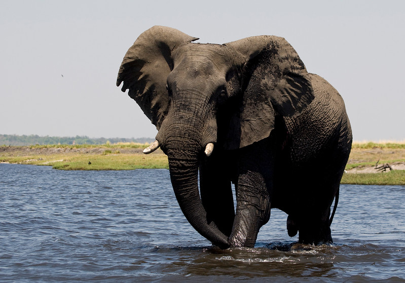Male Elephant fans his ears as a warning - Chobe River, Botswana